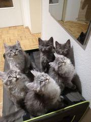 Maine Coon - Ragdoll Kitten