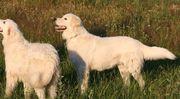 Maremmano Abruzzese Herdenschutzhund