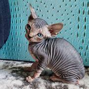 Sphynx oder OKH Katze
