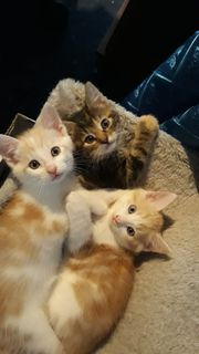 Main Coon Kitten Mischling