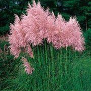 Blaue lila oder rosa Samen