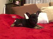 Französische Bulldog Black and Tan