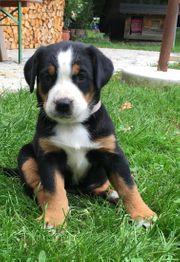 Schweizer Sennenhund Swissydog Welpen