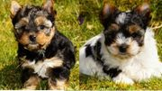 Yorkshire Terrier Biewer Yorkshire Terrier