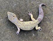 Sam der Leopardgecko MS Ghost