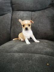 Chihuahua Rüde Hellbraun Weiß