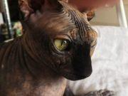 Sphynx Katze 5 sucht liebevolles