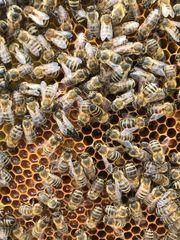 Bienen Ableger Carnica auf Zander