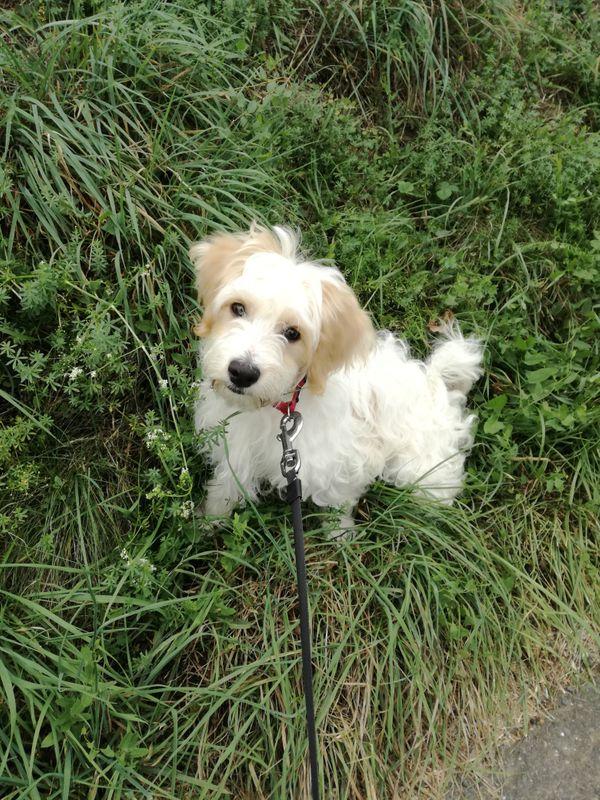 Welpe Reinrassiger Havaneser In Karlsruhe Hunde Kostenlose Kleinanzeigen Bei Quoka De