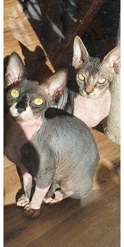 Sphynx Kitten zwei Mädchen