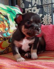 Mini mini Chihuahua 1schoko tan