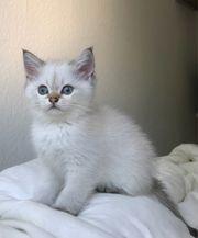 Wunderschöne Bkh kitten Abgabebereit