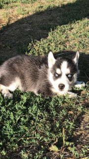 Female Husky Puppy jetzt fertig
