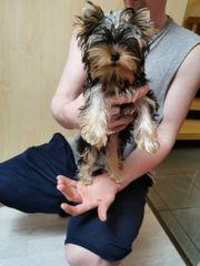 Yorkshire Terrier jungen