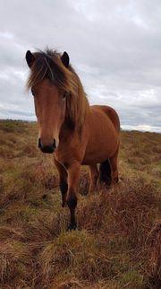 3 jähriger Isländer Wallach aus