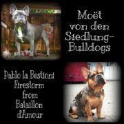 8 Zuckersüße Französische Bulldoggen Welpen