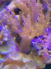 Meerwasser Keniabäumchen