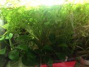 Wasserpflanzen Sumatrafarn