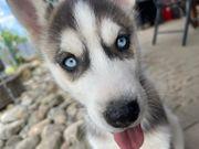 Husky Welpen reinrassig 10 Wochen