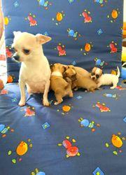Bildschöne Chihuahua Welpen zum Verkauf