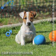 Aufgeweckte Jack Russell Terrier Welpen