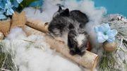 Mini löwenköpfchen zwergkaninchen aus der