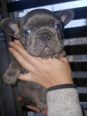 Französische Bulldogge Welpen Solid