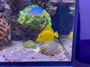 Zebrasoma flavescens - Hawaii- Zitronenflossen-Doktorfisch
