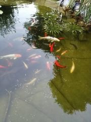 Goldfische abzugeben