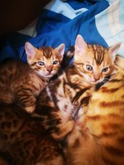 Süße Bengal Babys Jungs