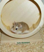 Junger Zwerghamster zahmes Männchen Hamster
