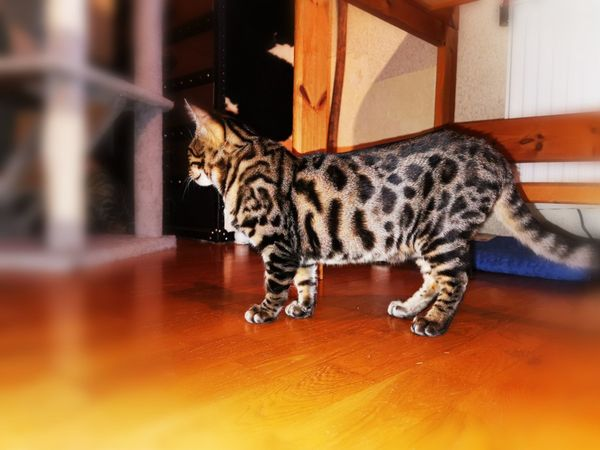 Bengal-Kitten mit Stammbaum Katzen Kater
