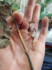 Geistermantis-Phyllocrania paradoxa otheeke