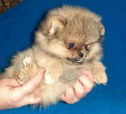 Mini Boo Pomeranian Zwergspitz Welpen