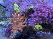 Meerwasser korallen Ableger Montiopora und