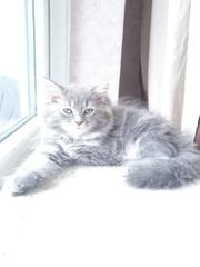 Perser-Maincoon-Kitten