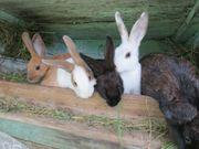 Hasen Kaninchen geimpft 15 Wochen