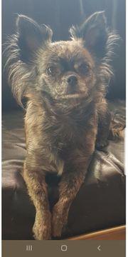 Chihuahuahündin 3 Jahre alt