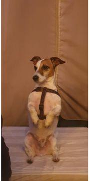 Chicko hier Ein Jack-Russel-Terrier sucht