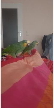 Papageien Blaustirnamazonen inklusive Voliere