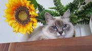 Ragdoll Kitten Bildhübsch suchen ein