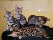 Bengal Kätzchen verkaufen