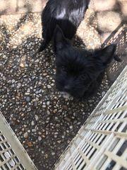 1schwartze Mini hundin Yorkshire Terrier