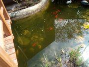 Goldfische gegen Abholung zu verschenken