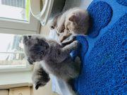BKH Shottisch Fold mix Kitten