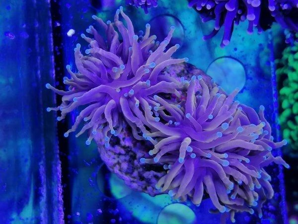 Euphyllia golden torch Korallen Korallenableger