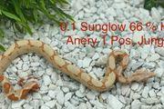 Boa 0 1 Sunglow 66