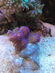 Stylophora rainbow fliederfarben pink und