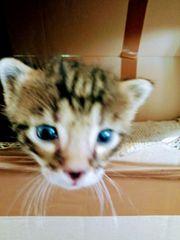 Bengal Mix Kitten zum verlieben