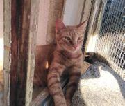Idit eine Schönheit TS Katze
